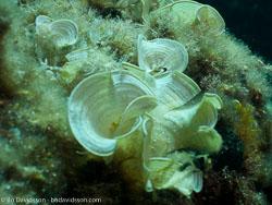 BD-110625-Dubrovnik-6255234-Pavona-cactus-(Forskål.-1775)-[Leaf-coral].jpg